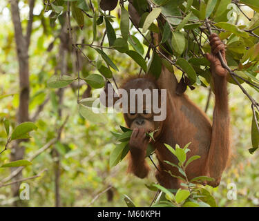 Curious baby orphan orangutan (Pongo pygmaeus) playing with leaves while hanging from tree in forest training session - Stock Photo