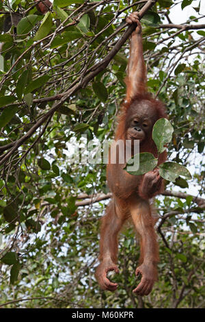 Rescued orangutan in tree hanging from one arm and looking at leaves during forest play and training session at - Stock Photo