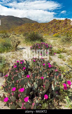 Beavertails, Glorietta Canyon, Anza-Borrego Desert State Park, California - Stock Photo