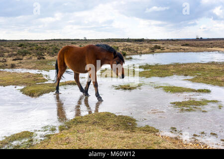New Forest, Hampshire, UK, 27th February 2018. UK Weather: Ponies find their normal watering holes slippery underfoot - Stock Photo