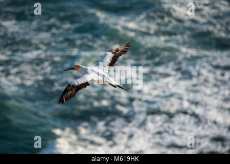 Gannets birds and their colony in Muriwai, New Zealand - Stock Photo