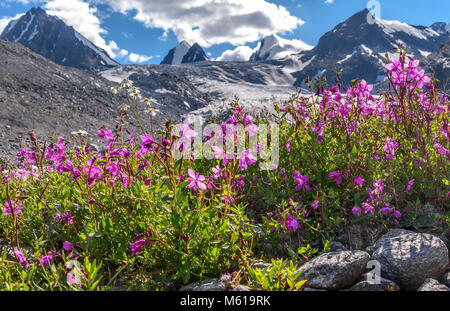 Bright pink flowers of willow-tea (Ivan-tea) and chamomile on the background of mountains, glacier and snow on a - Stock Photo