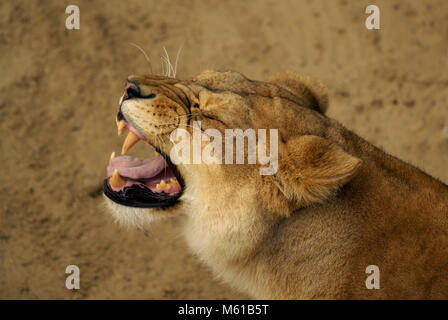 Roaring lioness in savannah - Stock Photo