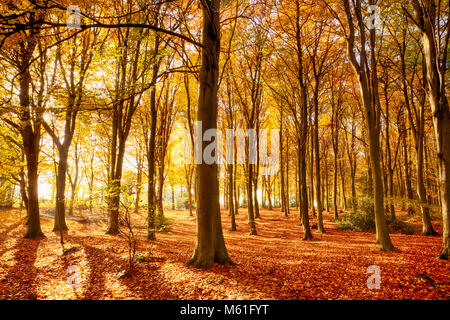 Norfolk forest in full autumn colour. Woodland floor covered in bright orange fall leaves and morning sunlight bursting - Stock Photo