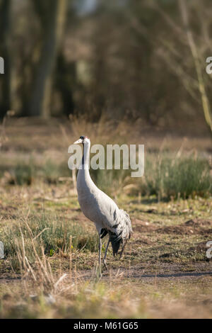 Common  crane, Grus grus, early spring on rough marshland in the Somerset levels,breeding plumage - Stock Photo