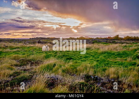 Grazing sheeps on a field near Myvatn at autumn - Stock Photo