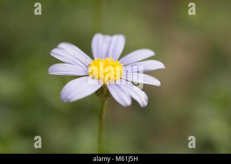 A Daisy in the Mediterranean section of the Eden project - Stock Photo