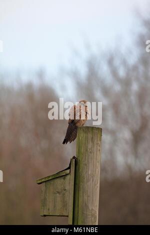 Kestrel, Falco tinnunculus perched on a pole above a sparrow nesting box, England, UK. - Stock Photo