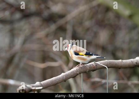 Adult male Goldfinch, Carduelis carduelis perched on a branch, England, UK. - Stock Photo