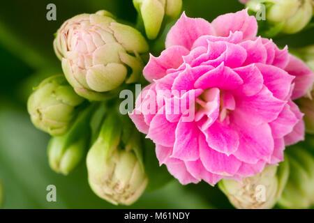 Close up of a Kalanchoe Blossfeldiana (flaming katy) house plant flower - Stock Photo