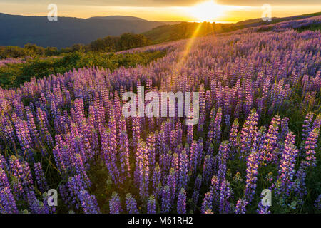 Sunset, Lupin, Lupinus angustifolius, Childs Hill Prairie, Redwood National Park, California - Stock Photo