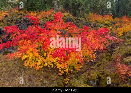 Vine Maple, Acer circinatum, McKenzie River National Recreation Trail, Willamette National Forest, Oregon - Stock Photo