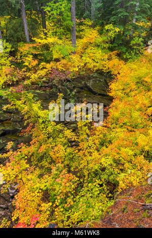 Vine Maple, Acer circinatum, Upper McKenzie River, McKenzie River National Recreation Trail, Willamette National - Stock Photo