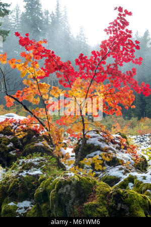 Vine Maple, Acer circinatum, Santiam Trail, McKenzie River National Wild and Scenic River, Willamette National Forest, - Stock Photo