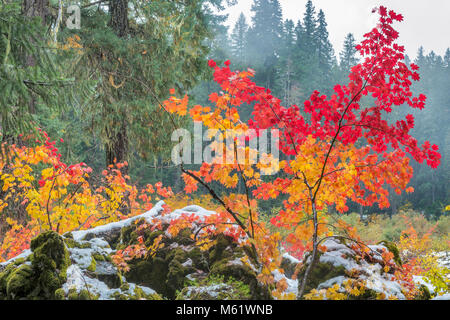 Fog, Vine Maple, Acer circinatum, Lava Rock, Santiam Trail, McKenzie River National Wild and Scenic River, Willamette - Stock Photo