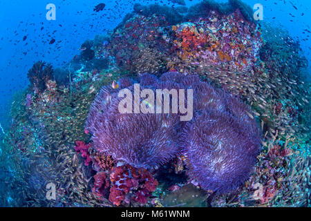 Glassfish swirl around bioluminescent anemones covering a coral reef on Richelieu Rock in the Andaman Sea off the - Stock Photo