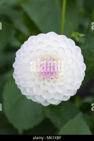 Dahlia 'Josie Gott' flower. - Stock Photo