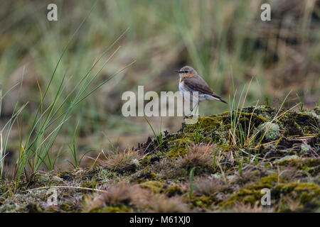 Northern wheatear (Oenanthe oenanthe), female on the ground in dunes - Stock Photo