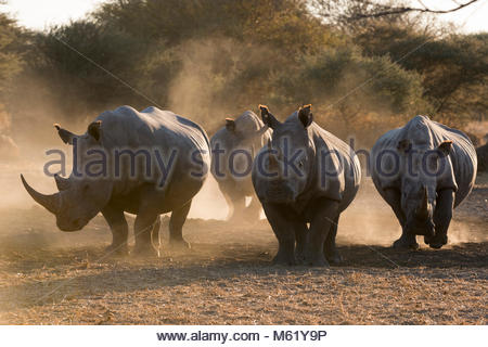 Four white rhinoceroses, Ceratotherium simum, walking in the dust at sunset. - Stock Photo