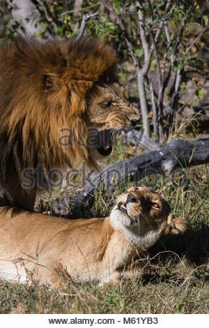 Lions, Panthera leo, mating. - Stock Photo