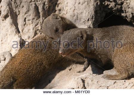 Two dwarf mongooses, Helogale parvula, on a termite mound. - Stock Photo
