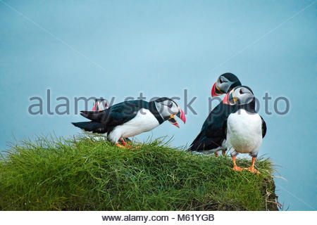 Shot of several Puffin, Fratercula, birds standing on top of a cliff. - Stock Photo
