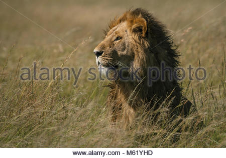 A male Lion, Panthera leo, resting in the long grass in Masai Mara National Park. - Stock Photo