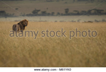 A Lion, Panthera Leo, walks in dry grass in Masai Mara National Reserve. - Stock Photo