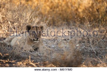 African lion, Panthera leo, cub rests in Etosha National Park. - Stock Photo