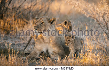 Lioness, Panthera leo, and two cubs resting and grooming in the shade. - Stock Photo