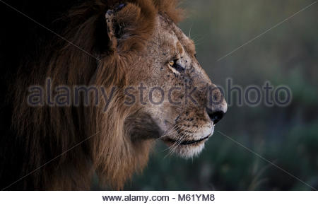 A male African lion, Panthera Leo, looks out into its territory at sunset. - Stock Photo