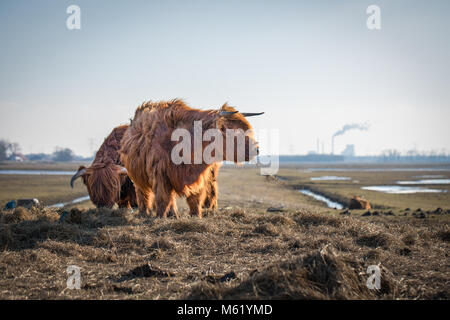 Scottish Highland cattle on dutch polders. Nature park in Holland, meadows between rivers, canals, pools, and overflow - Stock Photo