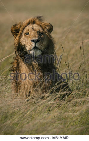 A male Lion, Panthera leo, standing in the long grass in Masai Mara National Reserve. - Stock Photo