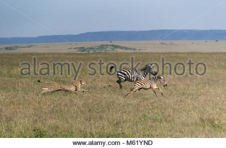 Cheetah, Acinonyx jubatus, hunting a young plains zebra in the Masai Mara. - Stock Photo