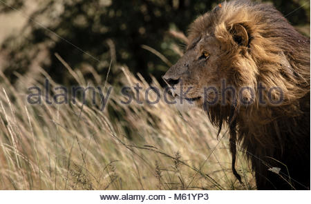 Portrait of a male Lion, Panthera leo, resting in tall grass. - Stock Photo