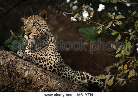 A male African leopard, Panthera pardus, rests on a tree branch in South Luangwa. - Stock Photo