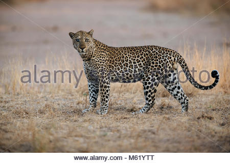 A male African leopard, Panthera pardus, walking in South Luangwa. - Stock Photo
