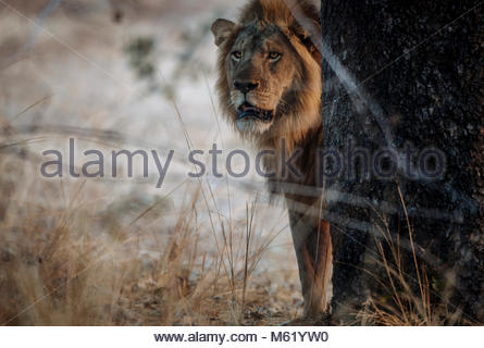 A male Lion, Panthera leo, patrolling early in the morning in South Luangwa. - Stock Photo
