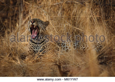 Portrait of a Leopard, Panthera pardus, yawning in long grasses in South Luangwa. - Stock Photo