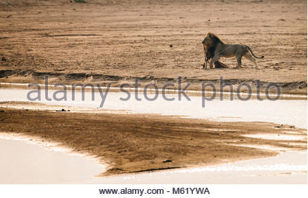A male Lion, Panthera leo, with a killed Impala, Aepyceros melampus, walking on the sand bank. - Stock Photo