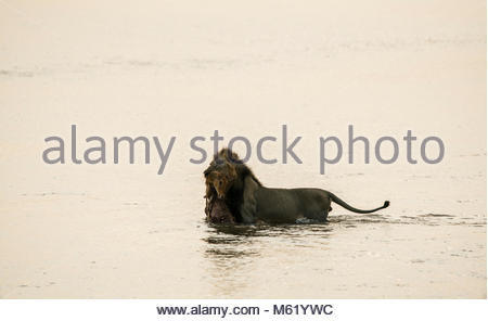 A male, Panthera leo, with a killed Impala, Aepyceros Melampus, crossing a river in South Luangwa. - Stock Photo
