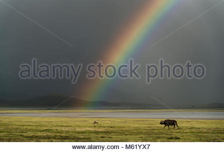A herd of African buffalo, Syncerus caffer, walking in front of a rainbow in the Ngorongoro crater. - Stock Photo