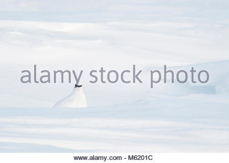 A male ptarmigan, Lagopus muta, in white winter plumage, resting in a snow hole. - Stock Photo
