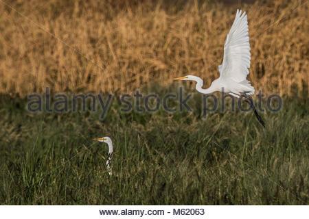 A Great Egret, Ardea alba, takes flight. - Stock Photo
