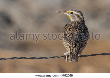 A Western Meadowlark, Sturnella neglecta, on a fence. - Stock Photo