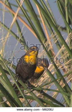 A pair of female Yellow-headed blackbird, Xanthocephalus xanthocephalus. - Stock Photo