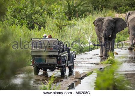 A large bull African elephant, Loxodonta africana, sprays water towards a safari vehicle. - Stock Photo