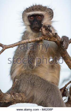 A Vervet monkey, Chlorocebus pygerythrus, upright and holding onto tree branches. - Stock Photo