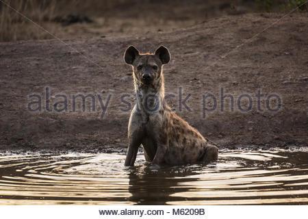 A Spotted hyena, Crocuta crocuta, sitting in a water hole at dusk. - Stock Photo