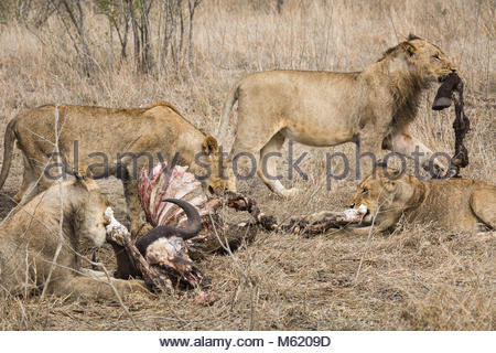 Lions, Panthera leo, feeding on African buffalo or Cape buffalo, Syncerus caffer. - Stock Photo